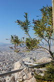 Olive tree on Lycabettus hill in Athens, Greece. Royalty Free Stock Photography