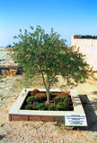 Olive tree, Madaba, Jordan Stock Photo
