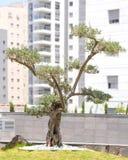 Olive Tree med den stora och texturerade stammen i stads- grannskapar arkivbild
