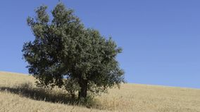 Olive tree in the middle of wheat stock video footage