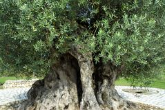 Olive tree millennium. Closeup Olive tree millennium with enormous trunk Royalty Free Stock Photo