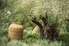 Olive Tree mit großem Fass Stockbilder