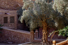 Olive tree,The Monastery of St. Catherine,Egypt Stock Photo
