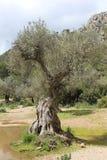 Olive tree. In mountainous region Stock Photography