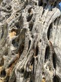 Olive-tree natural texture. Background royalty free stock photos