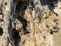 Olive-tree natural texture. Background stock photography
