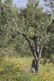 Olive tree near Bagnaia, Elba, Tuscany, Italy Royalty Free Stock Image