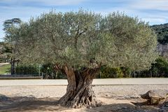 Olive tree near the Bridge of Gard - Vers-Pont-du-Gard - Gard - Occitania. View of an olive tree near the Bridge of Gard - Vers-Pont-du-Gard - Gard - Occitania royalty free stock images