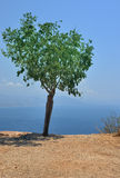 Olive tree near the sea in turkey Stock Photos