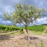 Olive tree near vineyards in Etna region in Sicily Stock Images