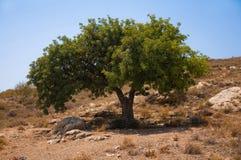 Olive Tree nella collina abbandonata in Andalusia Fotografia Stock Libera da Diritti