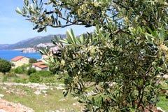 Olive Tree. In Neum, Bosnia and Herzegovina. Selective focus Stock Photo