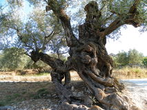 Olive tree. Nice skulpture of the olive tree Royalty Free Stock Images