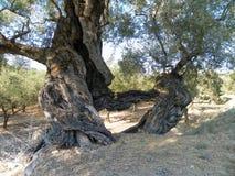 Olive tree. Nice skulpture of the olive tree Stock Photo