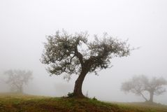 Olive tree in november. With fog Royalty Free Stock Photography
