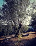 The olive tree royalty free stock photos