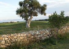 Olive Tree och vaggar väggen på den västra sidan av Sanen Domenico Golf Club Arkivfoto
