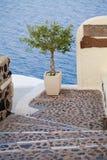 Olive Tree. Oia Town, Santorini, Greece Royalty Free Stock Photo