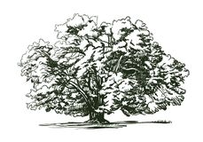 Olive tree old engraving. Ecology, environment, nature sketch. Vintage vector illustration stock photo