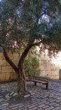 Olive tree in old tower of David in Old city of Jerusalem Stock Images