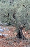 Olive tree. Old olive tree trunk with detail Stock Image