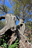 Olive tree. Old tree trunk of olive texture stock images
