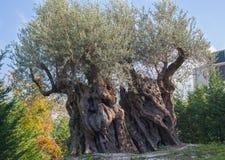 Olive tree. Royalty Free Stock Photos