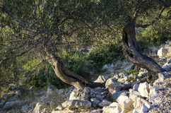 Olive tree Royalty Free Stock Images
