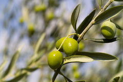 Olive Tree (Olea europaea). Green Olive Tree (Olea europaea Stock Photos