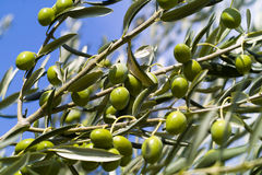 Olive Tree (Olea europaea). Green Olive Tree (Olea europaea Royalty Free Stock Photos