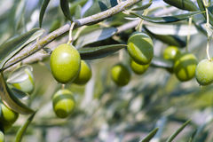Olive Tree (Olea europaea). Green Olive Tree (Olea europaea Stock Photo
