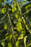 Olive Tree (Olea europaea). Organic olives on the tree Royalty Free Stock Photos