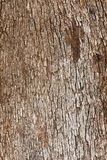 Olive tree Olea europaea bark natural texture Royalty Free Stock Images