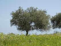Olive tree (Olea europaea) Costa Rei, Sardinia, Italy Stock Photos
