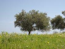 Olive tree (Olea europaea) Costa Rei, Sardinia, Italy Royalty Free Stock Image
