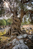 Olive tree (Olea europaea) II Royalty Free Stock Photo
