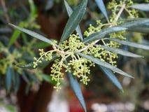Olive Tree Or Olea Europaea In Spring In Crete Greece Stock Photos