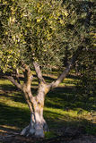 Olive tree in olive grove Royalty Free Stock Photos