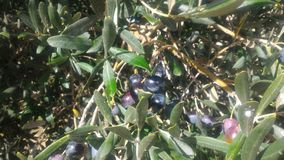 Olive-tree Royalty Free Stock Images
