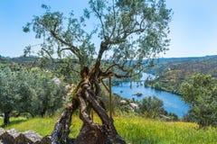 Olive tree -Oliveira - rio. Olive Tree, Portugal Tirada com o Fundo do Rio Tejo. Tirada no castelo de Belver - Portalegre portugal royalty free stock photo