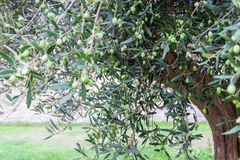 Olive tree with olives on the branches. Olive tree in Italy stock image