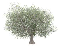 Olive tree with olives isolated on white stock images