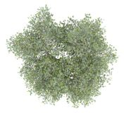 Olive tree with olives isolated on white. top view stock image