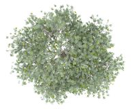 Olive tree with olives isolated on white. top view royalty free stock image