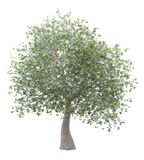 Olive tree with olives isolated on white royalty free stock photos
