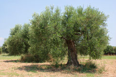 Olive tree orchard Stock Photo