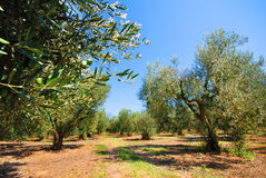 Olive tree orchard. View of an olive orchard with olive tree branches closeup, and more olive trees in the distance Stock Photos