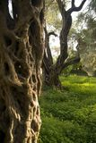 Olive Tree Orchard Royalty Free Stock Images