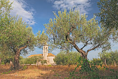 Olive tree orchard in Abruzzo, Italy Royalty Free Stock Images