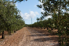Olive tree orchard near Barcelona, Spain Stock Images